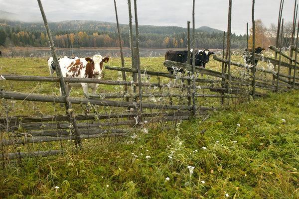 Kor i landskapet.
