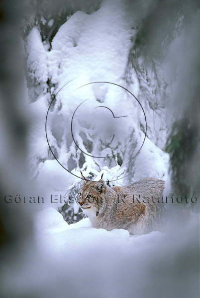 Lodjur  (Lynx lynx)