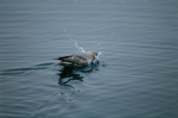 Stormfågel (Fulmarus glacialis) doppar huvudet.