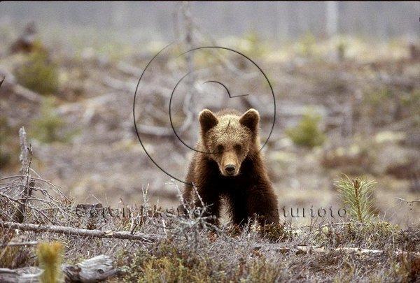 Årsunge av björn (Ursus arctos)