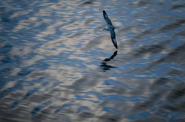 Stormfågel (Fulmarus glacialis) flyger över vattenytan.