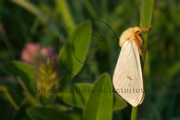 Humlerotätare   (Hepialus humuli)