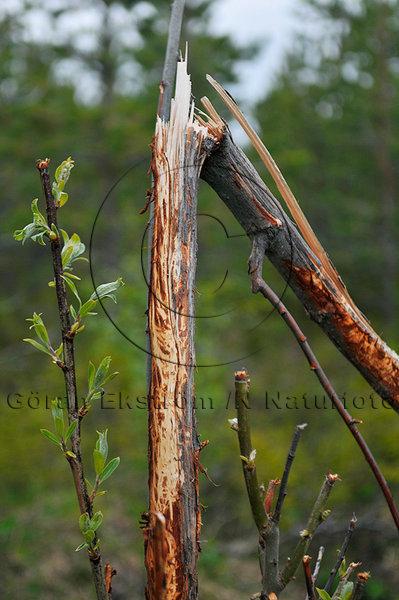 Betesskada på träd, av älg