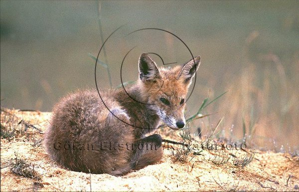 Räv  (Vulpes vulpes)