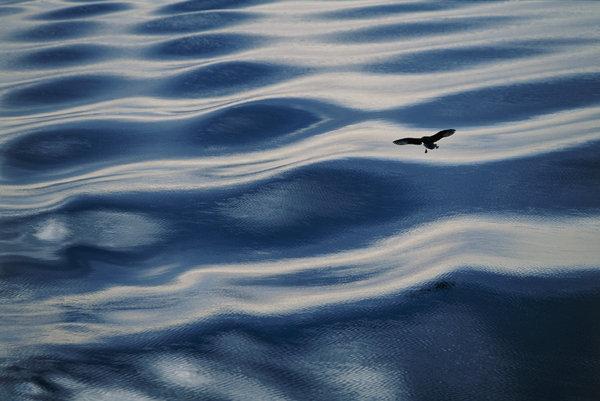 Stormfågel, Fulmarus glacialis, över vågor.