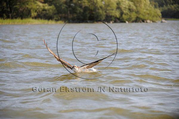 Fiskgjuse (Pandion haliaetus)