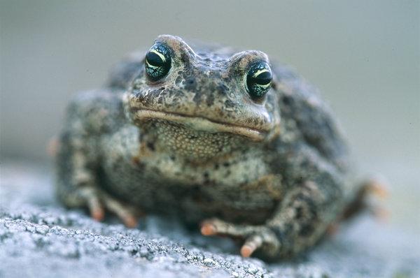 Stinkpadda(Bufo calamita) i närbild.