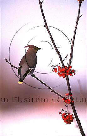 Sidensvans   (Bombycilla garrulus)