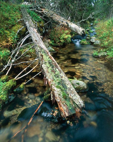 Urskog vid skogsbäck.