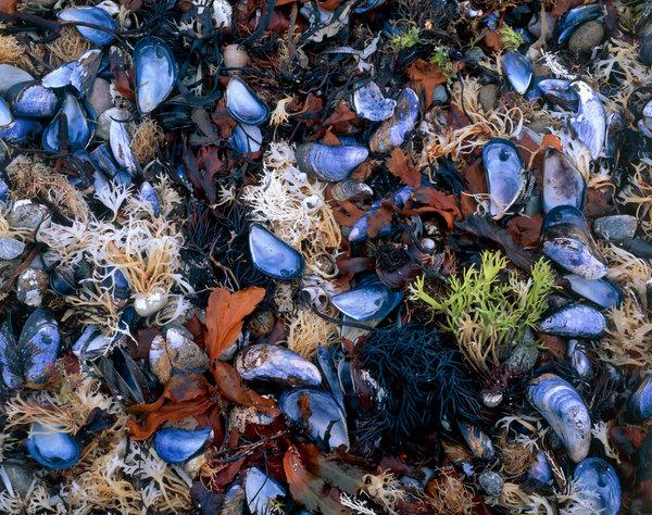 Blåmusslor, Mytilus edulis, och havsväxter.