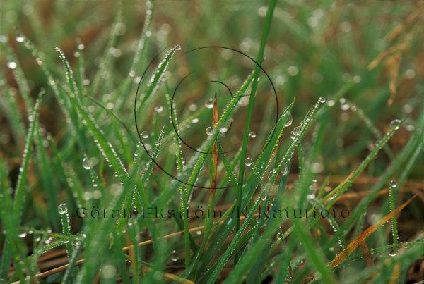 Daggdroppar i gräs