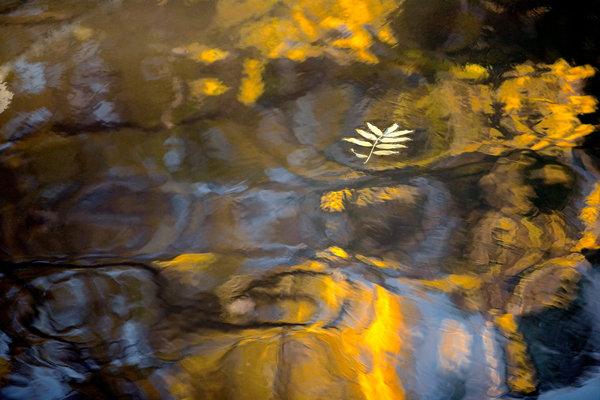 Ask, Fraxinus excelsior, blad i vattenspegling.