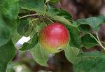apple700.jpg