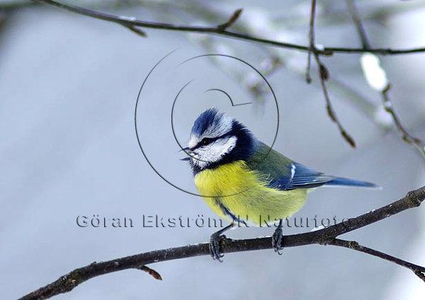 Blåmes  (Parus caeruleus)