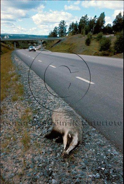 Trafikdödad grävling  (Meles meles)