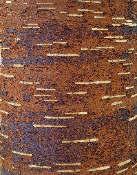 Under nävern på Vårtbjörk (Betula pendula)