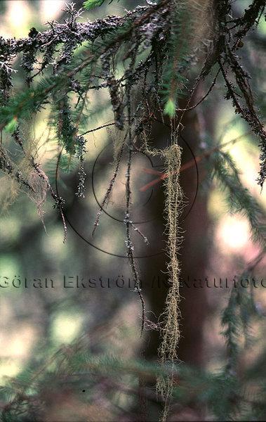 Långskägglav   (Usnea longissima)