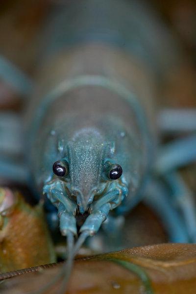 Signalkräfta, Pacifastacus leniusculus, blått färgpigment.