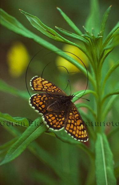 Nätfjäril     (Melitaea athalia)