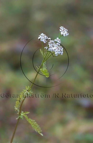 Rölleka     (Achillea millefolium)