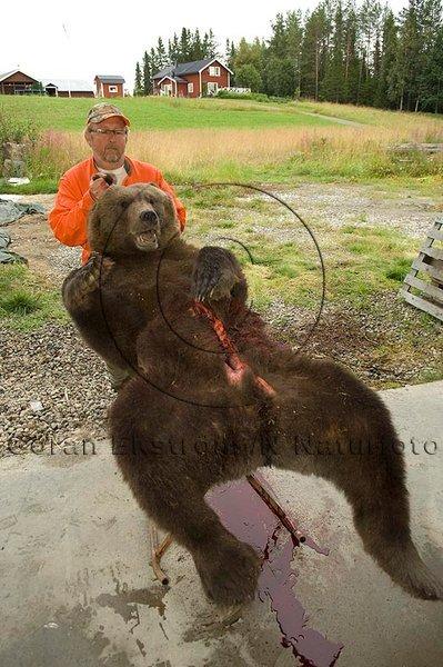 Slaktning av björn, norra Jämtland