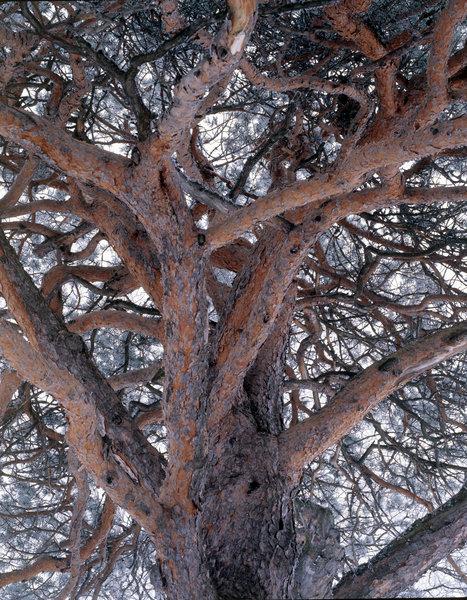 Tall, Pinus sylvestris, med frost.