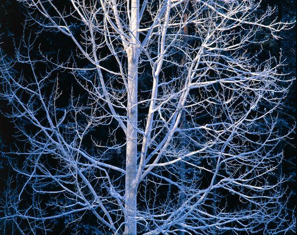 Frostig Asp, Populus tremula,