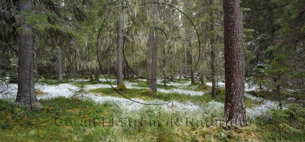 Pudersnö i den lavbeklädda skogen