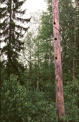 Torrträd