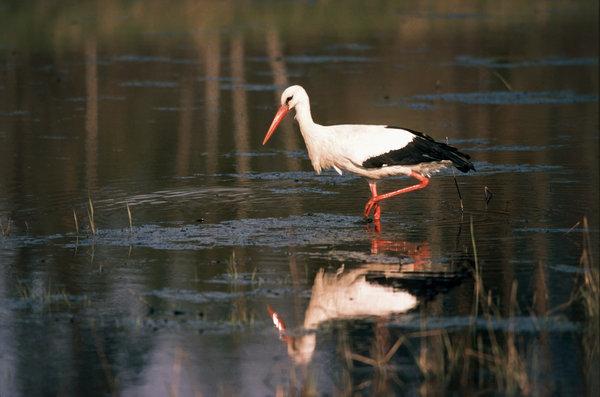 Vit stork (Ciconia ciconia).