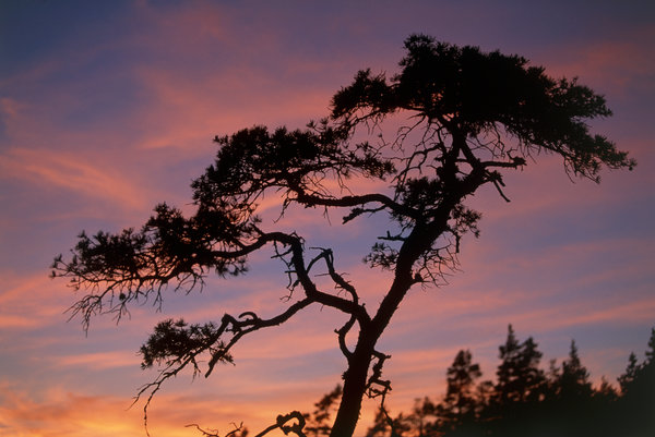 Tall (Pinus silvestris).