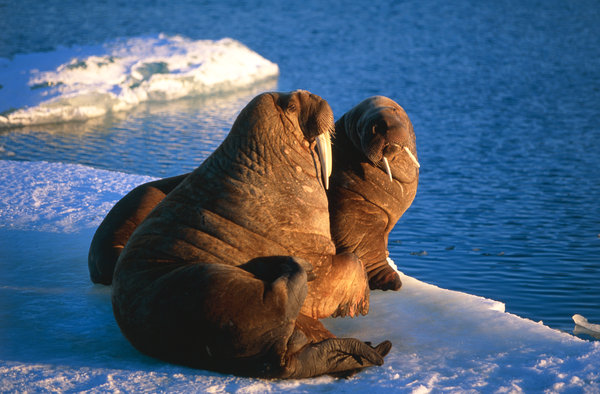 Valross (Odobenus rosmarus) på isflak.