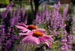 echinacea800.jpg