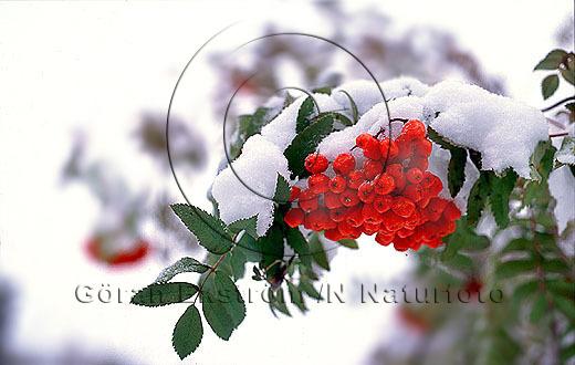 Rönnbär   (Sorbus aucuparia)