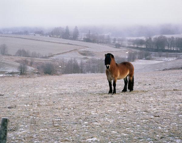 Nordsvensk häst i vinterlandskap.