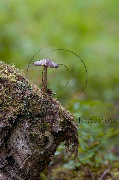 Liten svamp på stubbe