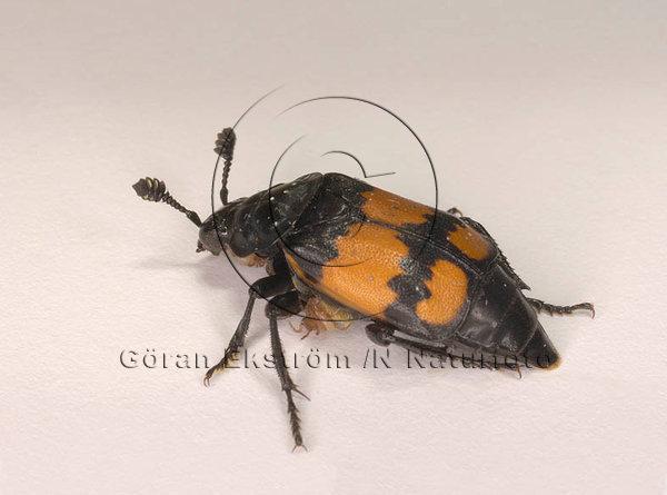 Dödgrävare   (Nicrophorus vespilloides)