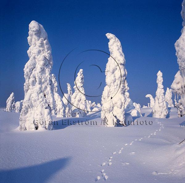 Harspår i vinterlandskap