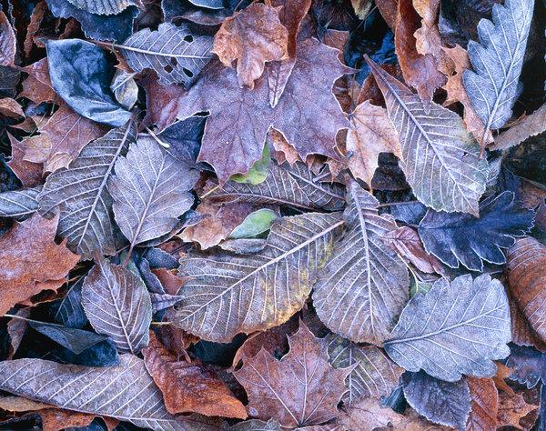 Frostiga löv.