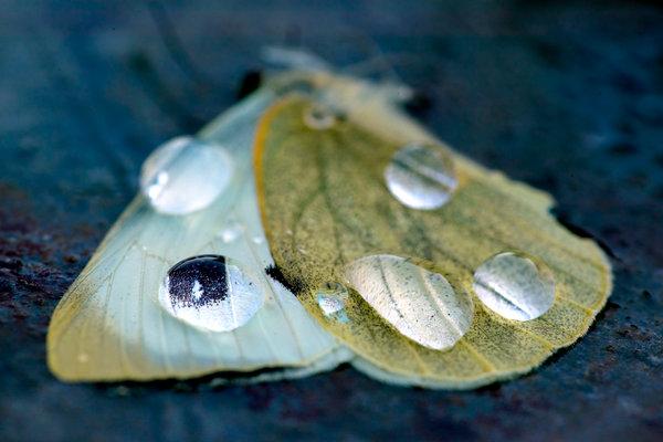 Kålfjäril, Pieris brassicae, död.