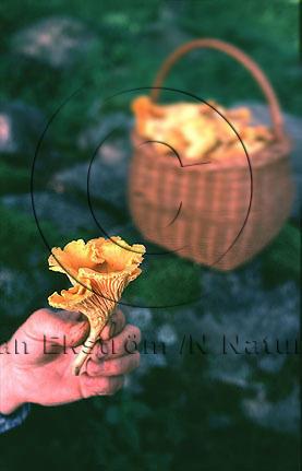 Kantarell   (Cantharellus cibarius)