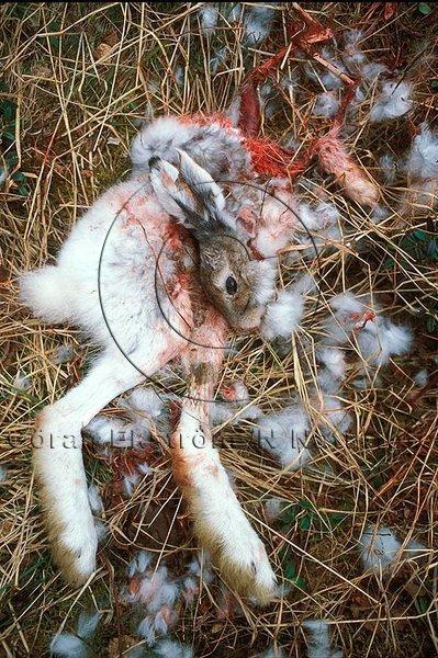 Av kungsörn dödad skogshare