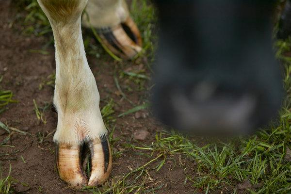 Klövar och mule på ko.