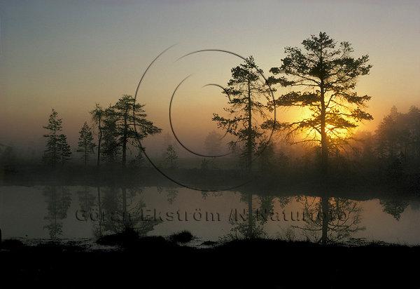 Sommargryning över mosse i Värmland