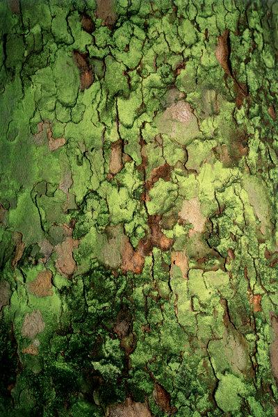 Lönn. Acer platanoides. bark med alger.