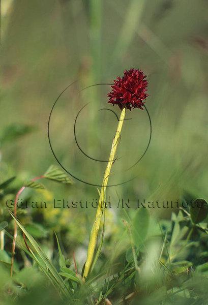 Brunkulla    (Nigritella nigra)