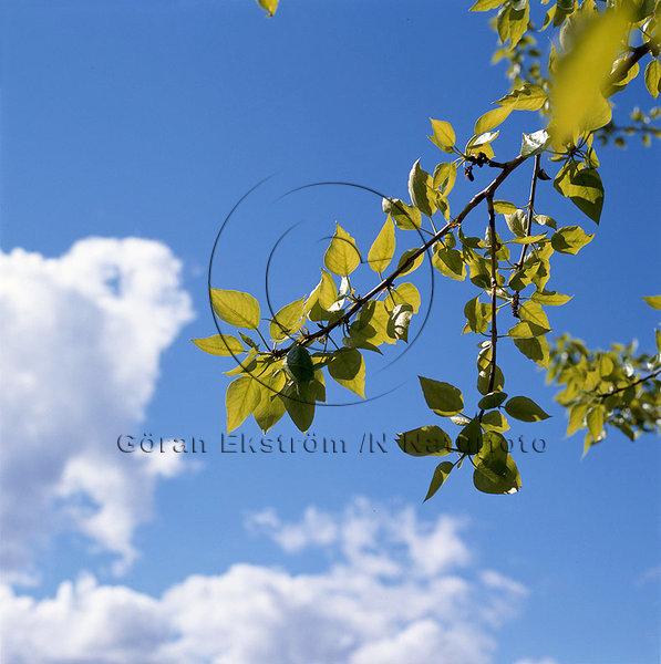 Grön kvist mot blå himmel