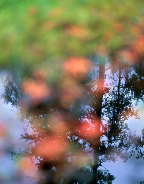 Gran(Picea abies) speglar sig i en skogstjärn.(Oskarpa växter i förgrunden.)