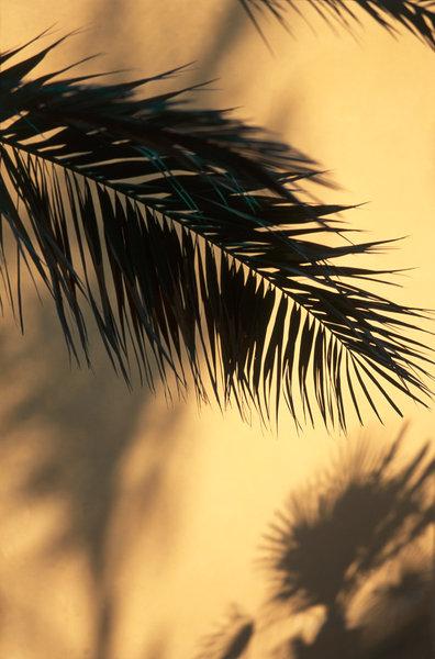 Palmblad och skuggor, art okänd.