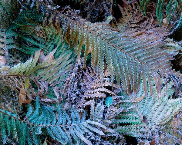 Strutbräken, Matteuccia struthiopteris, med frost